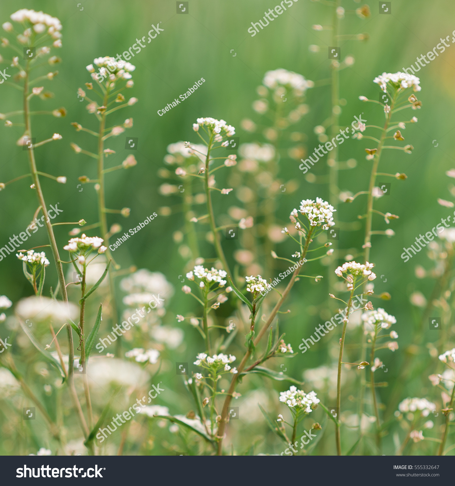 White Shepherds Purse Flowers In Spring Ez Canvas