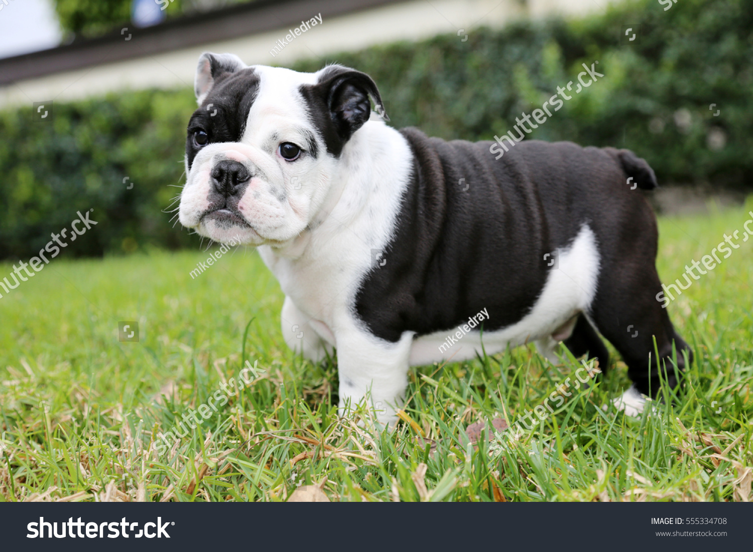 Bulldog Puppy Beautiful Black White Bulldog Foto De Stock Editar Ahora 555334708