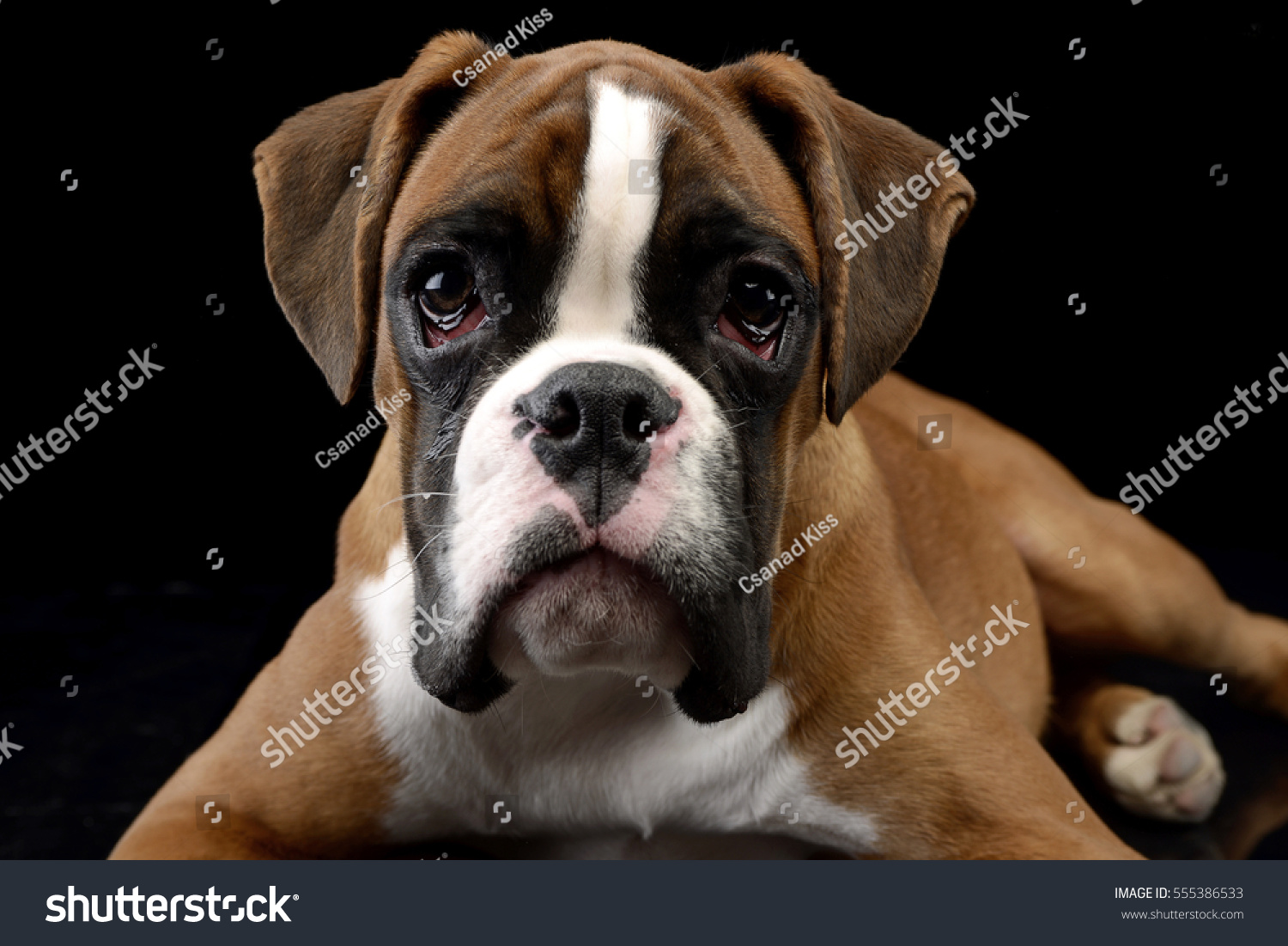 Top Boxer Black Adorable Dog - stock-photo-portrait-of-an-adorable-boxer-dog-studio-shot-isolated-on-black-555386533  2018_646059  .jpg