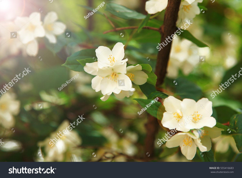 Jasmine Flower Growing On Bush Garden Stock Photo Edit Now