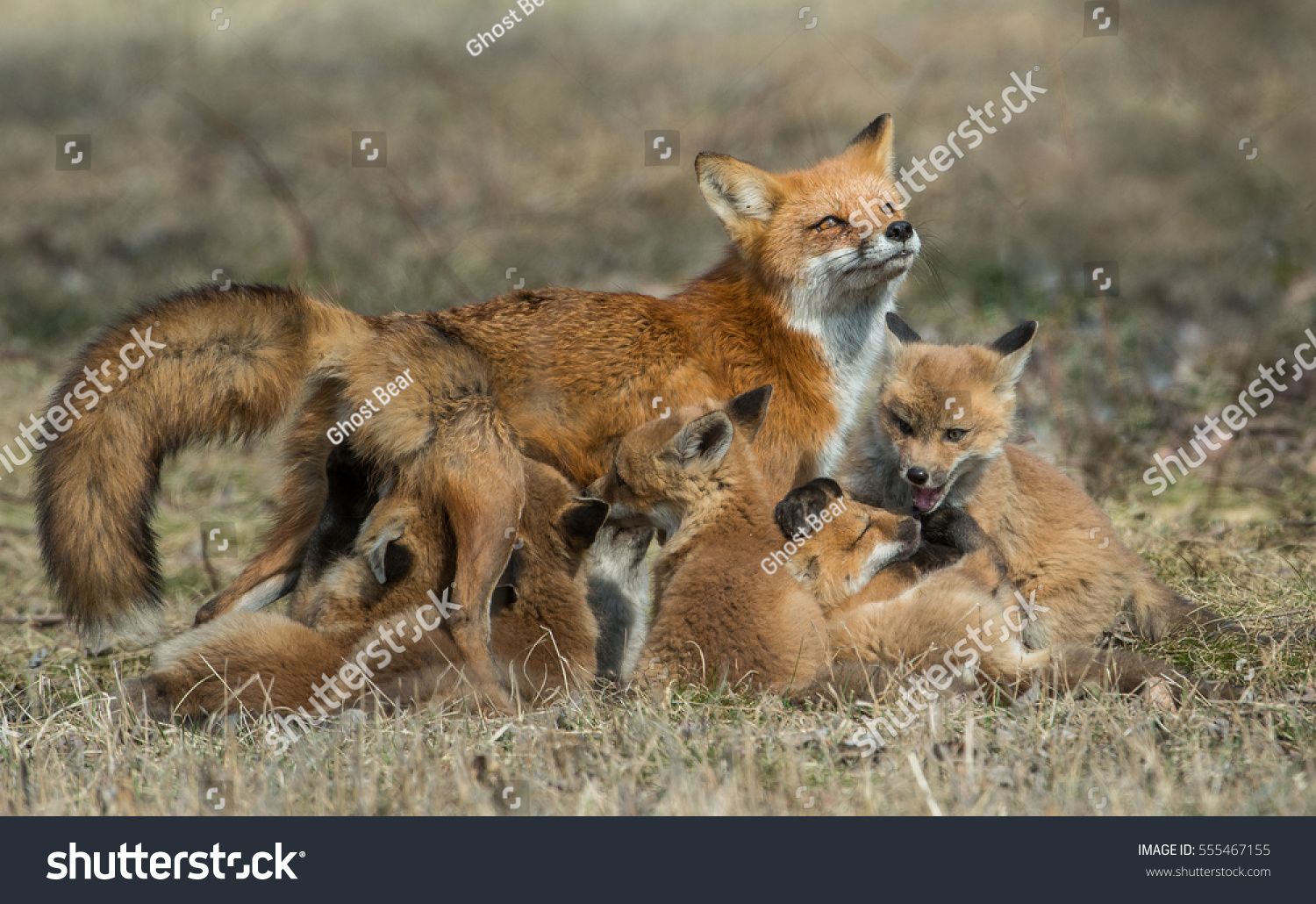 This Wild Red Fox Was Just Too Tame So She Moves Into Her Forever ...