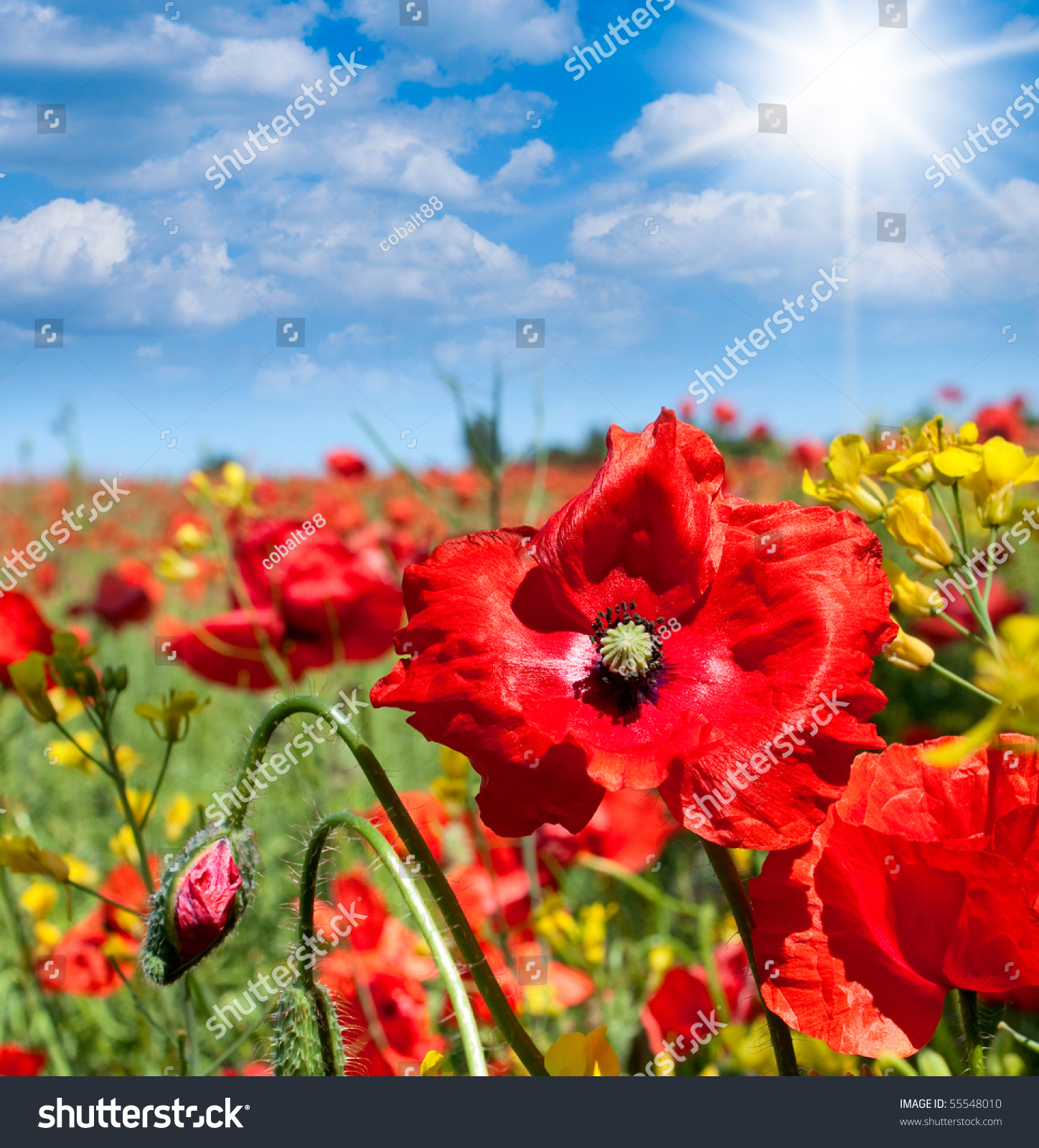 Wild Poppies Flowers Summer Field Poland Stock Photo Edit Now