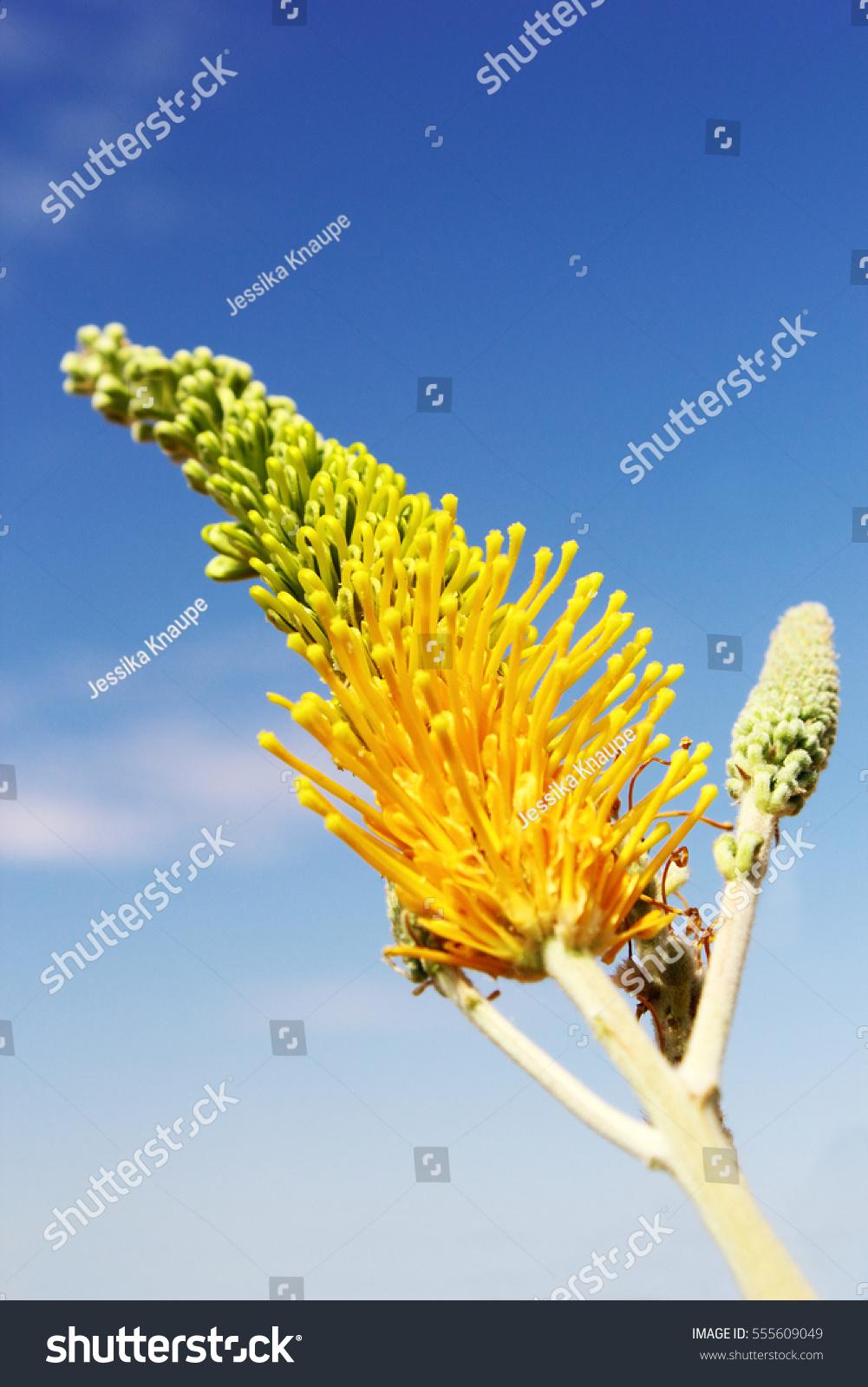 Desert Spider Flower Desert Grevillea Blooming Bright Stock Photo