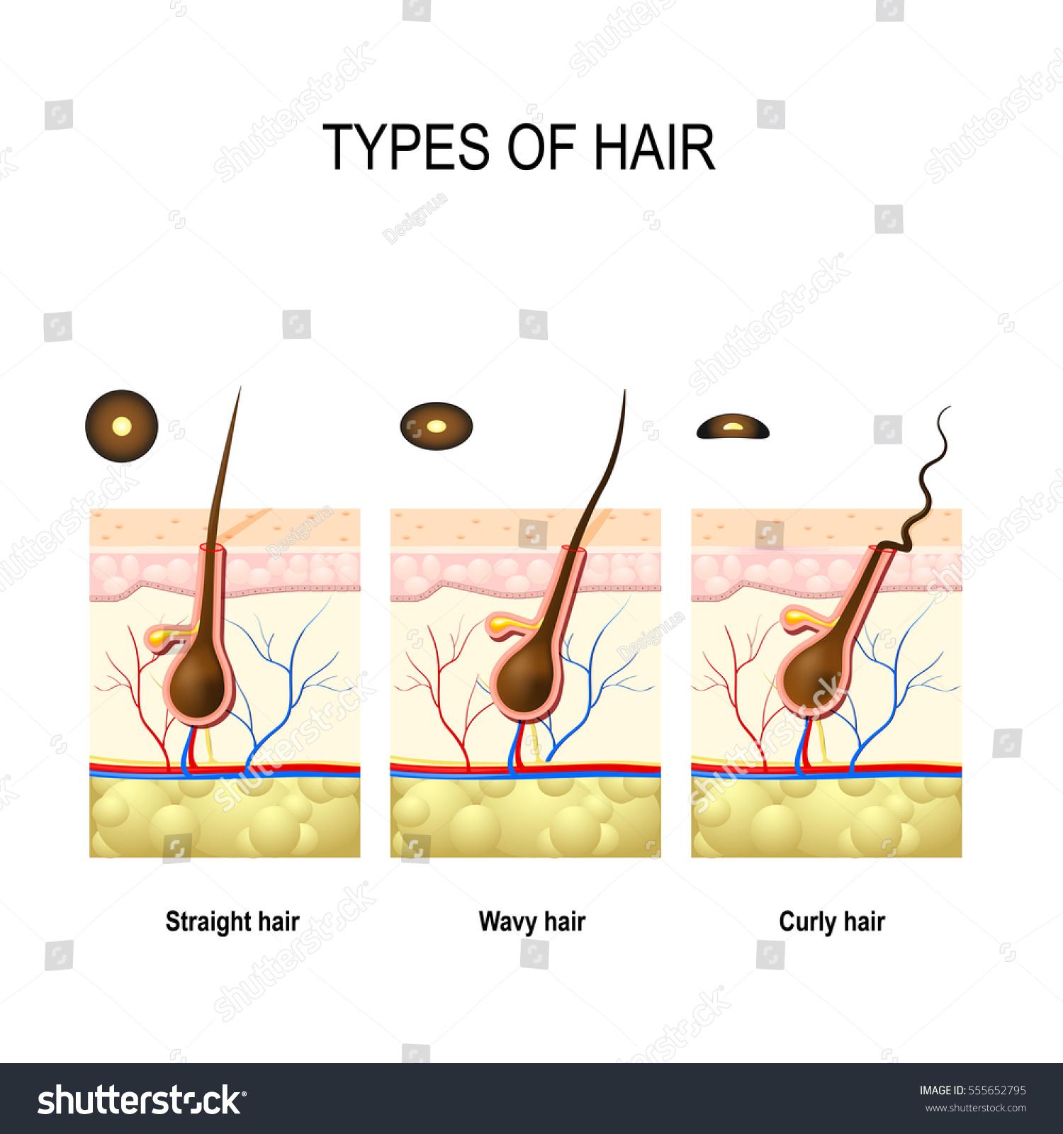 Types Hair Straight Wavy Kinky Cross Stock Vector 555652795