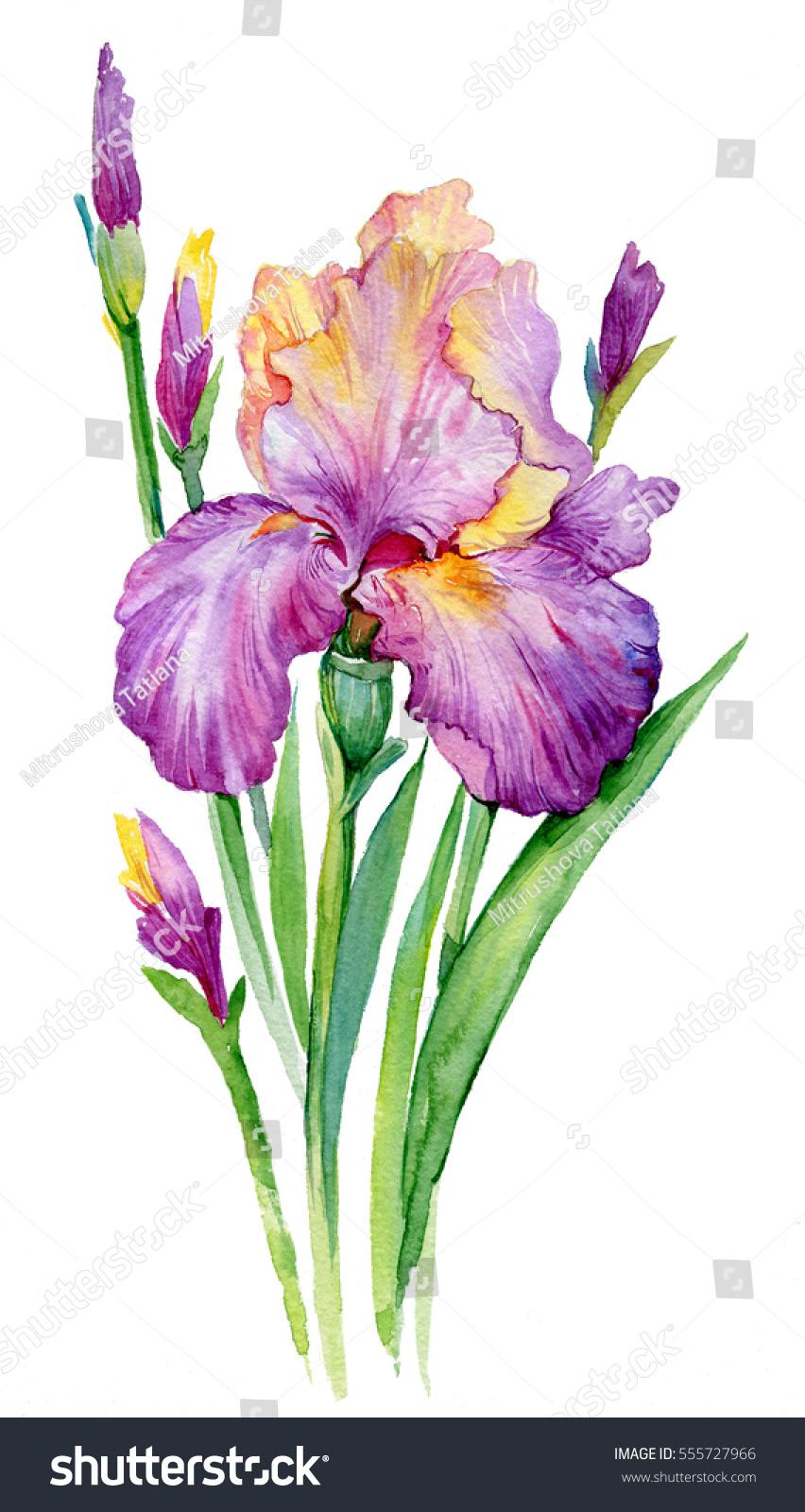Purple iris illustration watercolor iris flower stock illustration purple iris illustration watercolor iris flower isolated on white background biocorpaavc