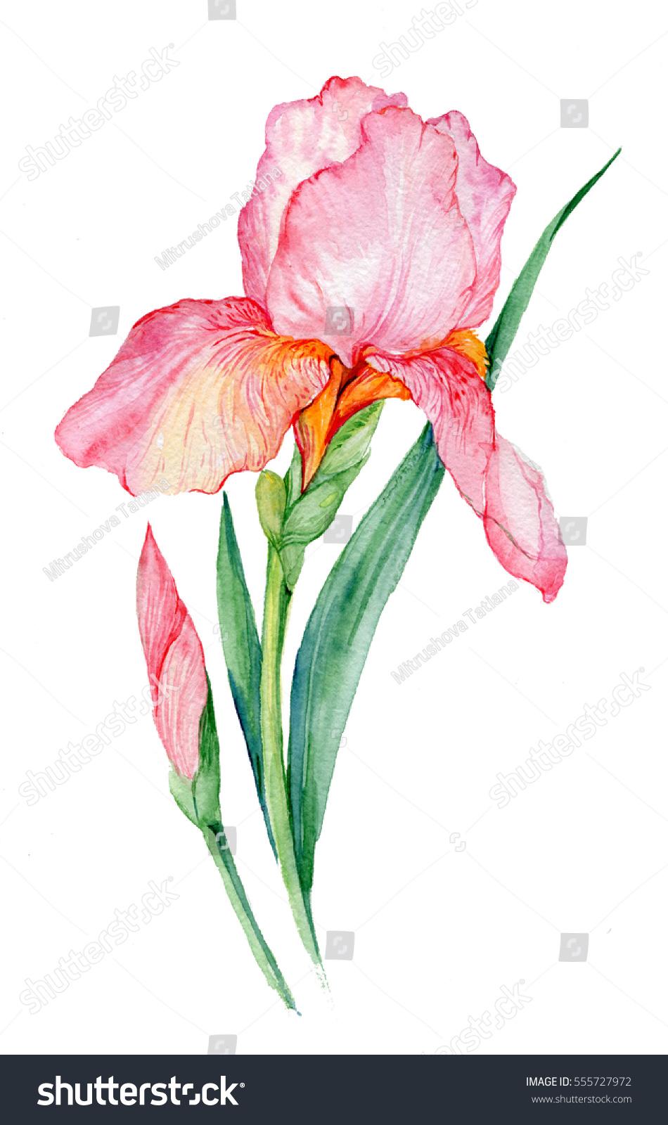 Royalty free stock illustration of pink iris illustration watercolor pink iris illustration watercolor iris flower isolated on white background izmirmasajfo