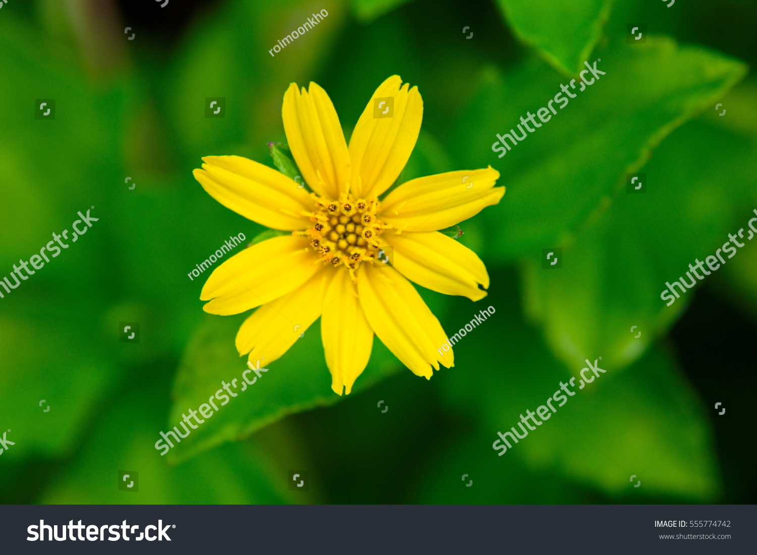 A Yellow Flower With Green Leaves As The Background Called Creeping