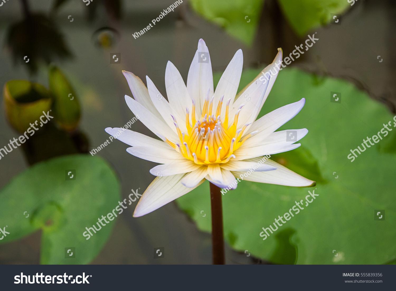 White lotus ez canvas izmirmasajfo