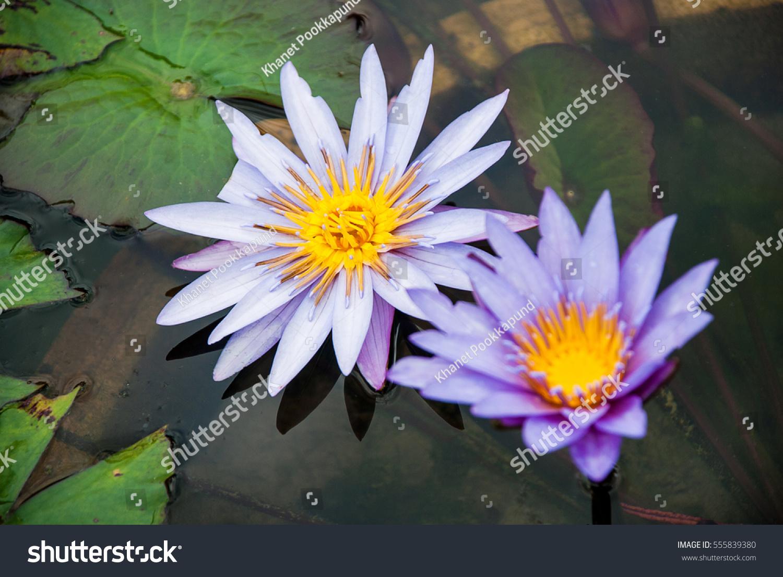 Close violet lotus flower scientific name stock photo edit now close up violet lotus flower the scientific name is nymphaea colorado izmirmasajfo