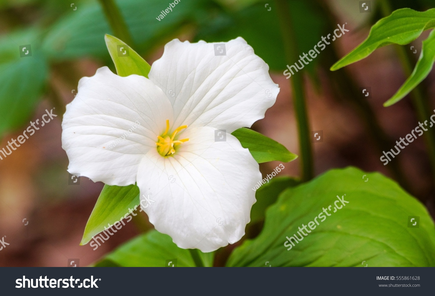 White Petals Large Flowered White Trillium Stock Photo Edit Now