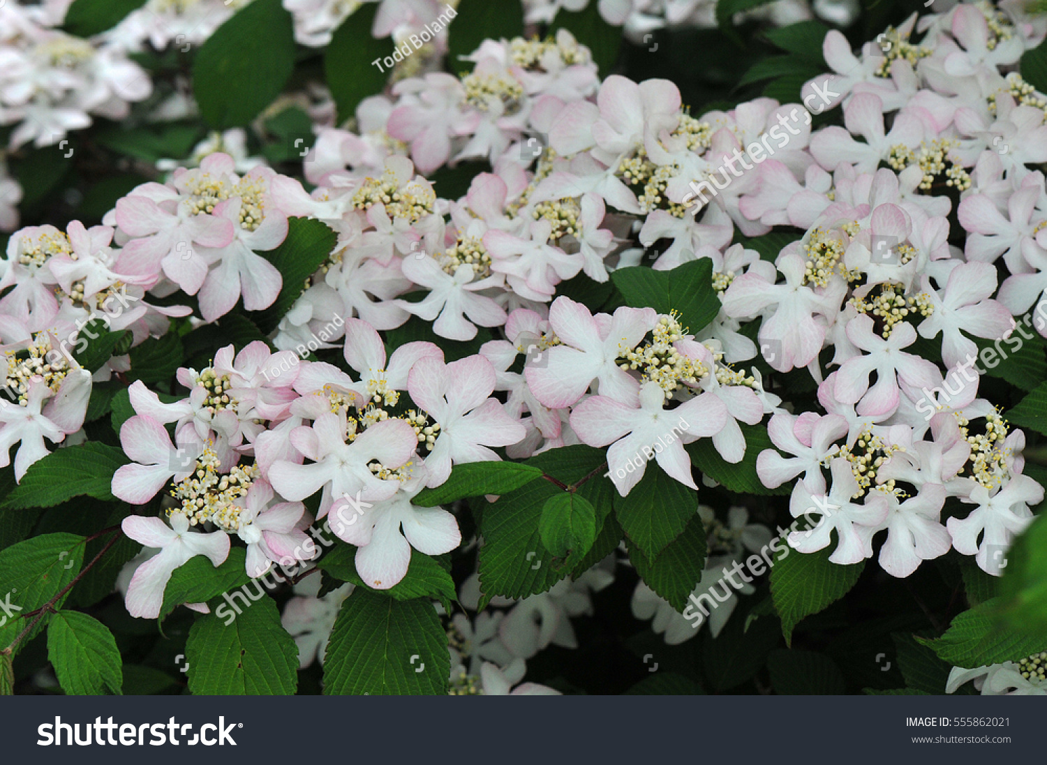 Pale Pink Flowers Shrub Called Viburnum Stock Photo Download Now