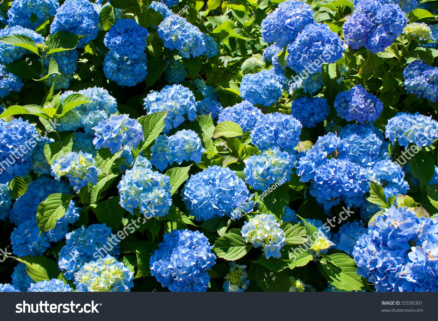 Bunch Blue Blooming Hydrangea Flowers Spring Stock Photo (100% Legal ...