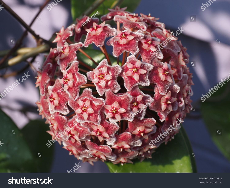 Close Hoya Red Flower Hoya Carnosa Stock Photo (Royalty Free ...