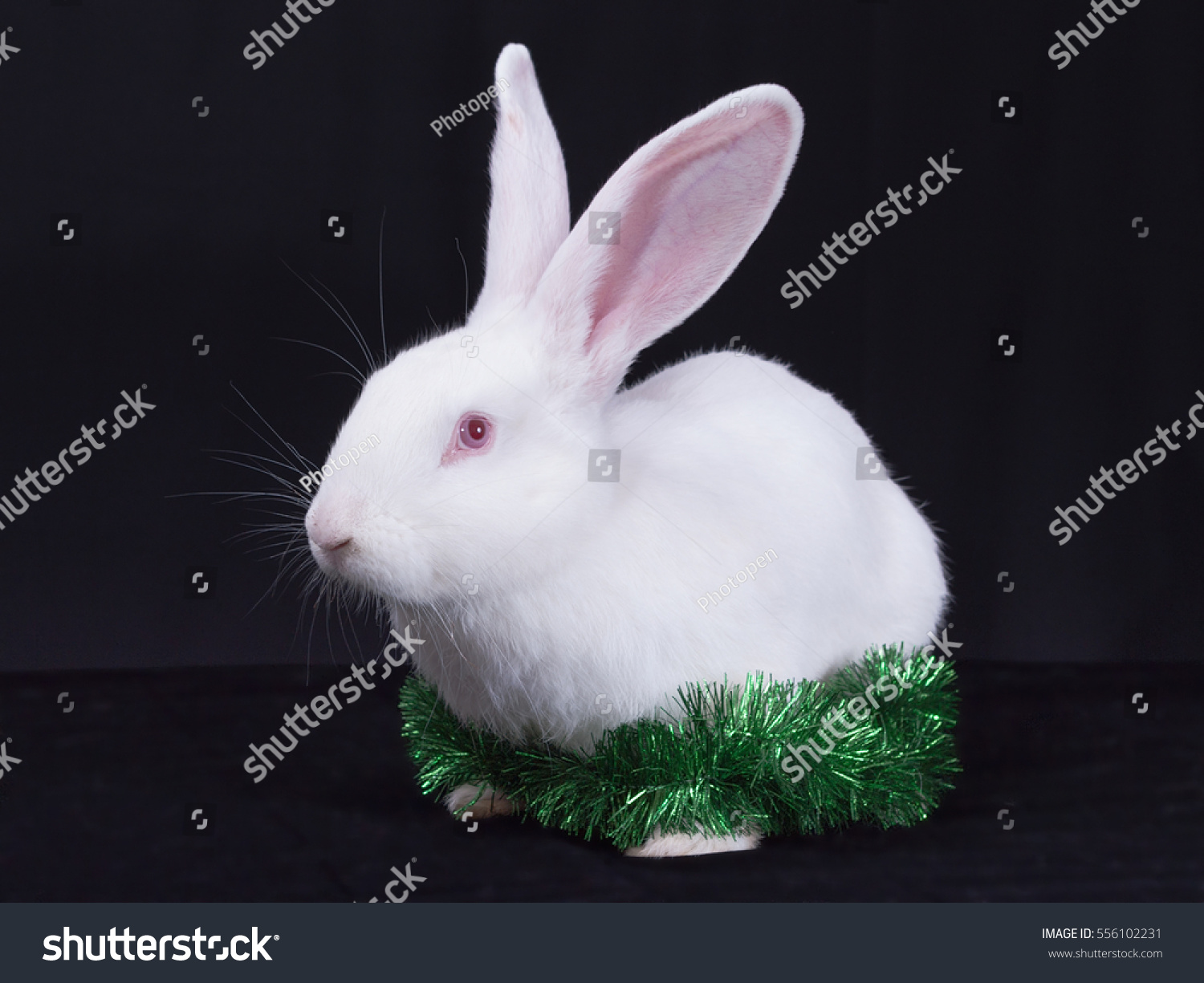 a young white rabbit with christmas decorations on a black background
