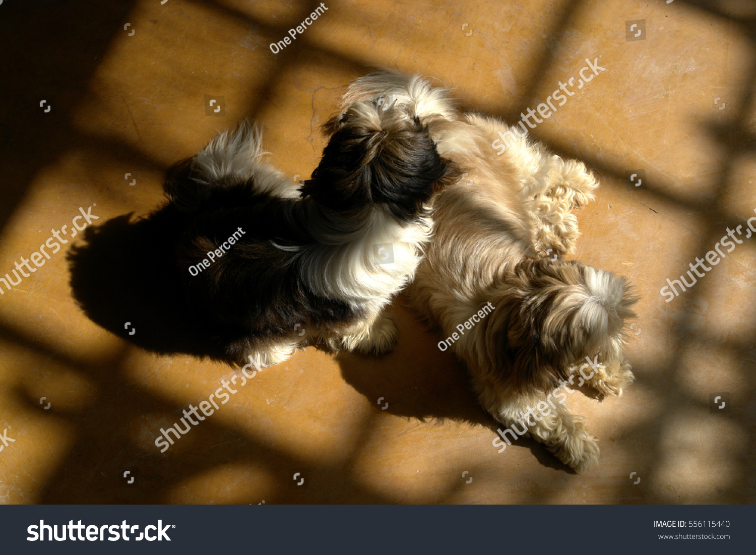 Fantastic Fluffy Brown Adorable Dog - stock-photo-fluffy-furry-hairy-cute-adorable-dog-brown-and-white-laying-resting-sleeping-on-wooden-floor-with-556115440  Pictures_3197  .jpg
