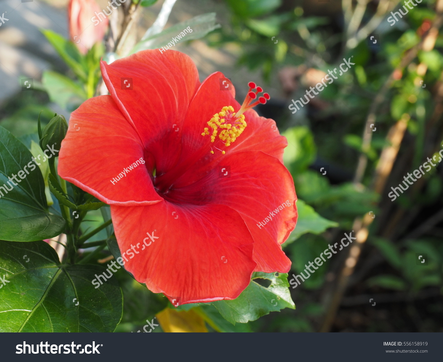 Colorful Hibiscus Red Flower Close Up Aba Flower Or China Rose