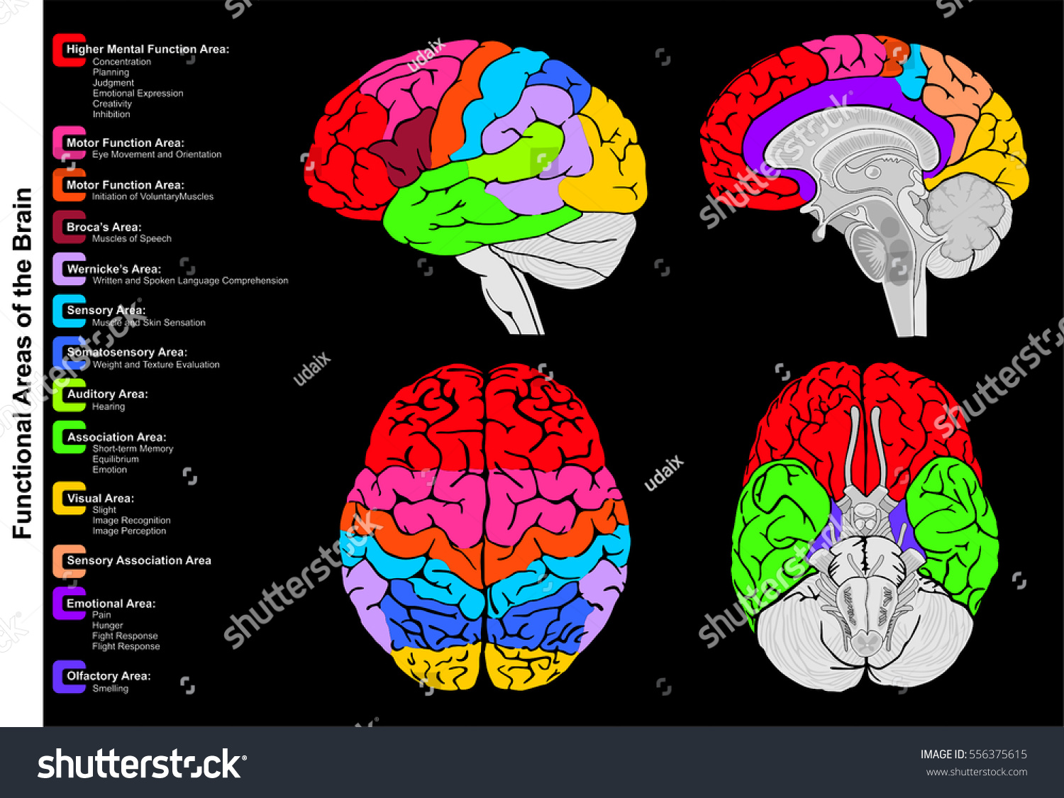 Human Brain Functional Infographic Including All Stock Vector ...