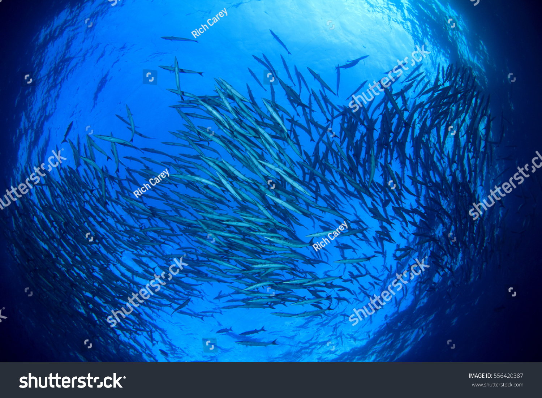 Underwater ocean fish school barracuda fish stock photo for Sea water fish