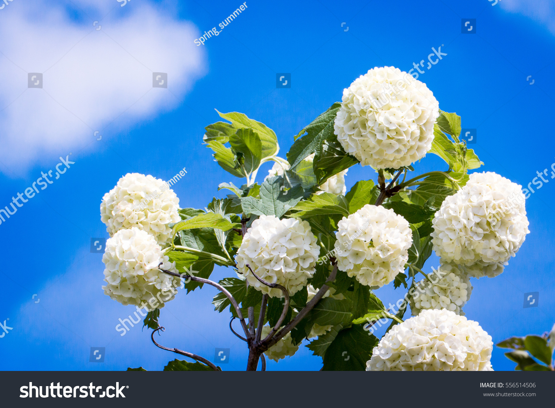 Snowball viburnum bush white ball like stock photo royalty free snowball viburnum bush white ball like flowers in spring beautiful clouds blue sky background mightylinksfo
