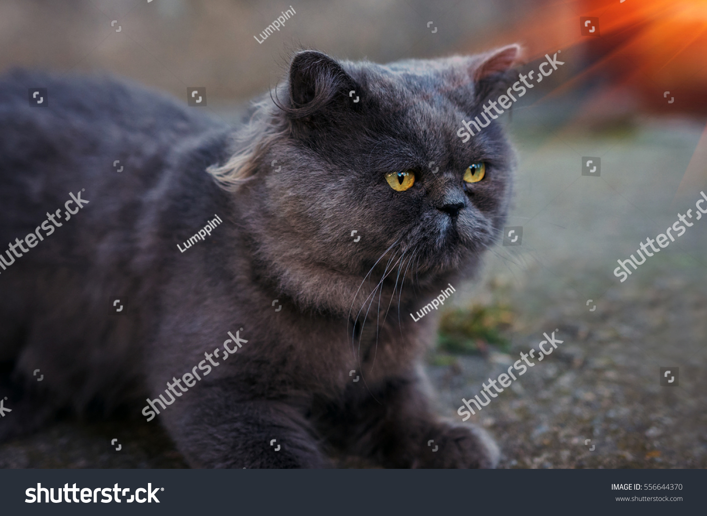 British Fold Cat Looking Lying Stock Shutterstock