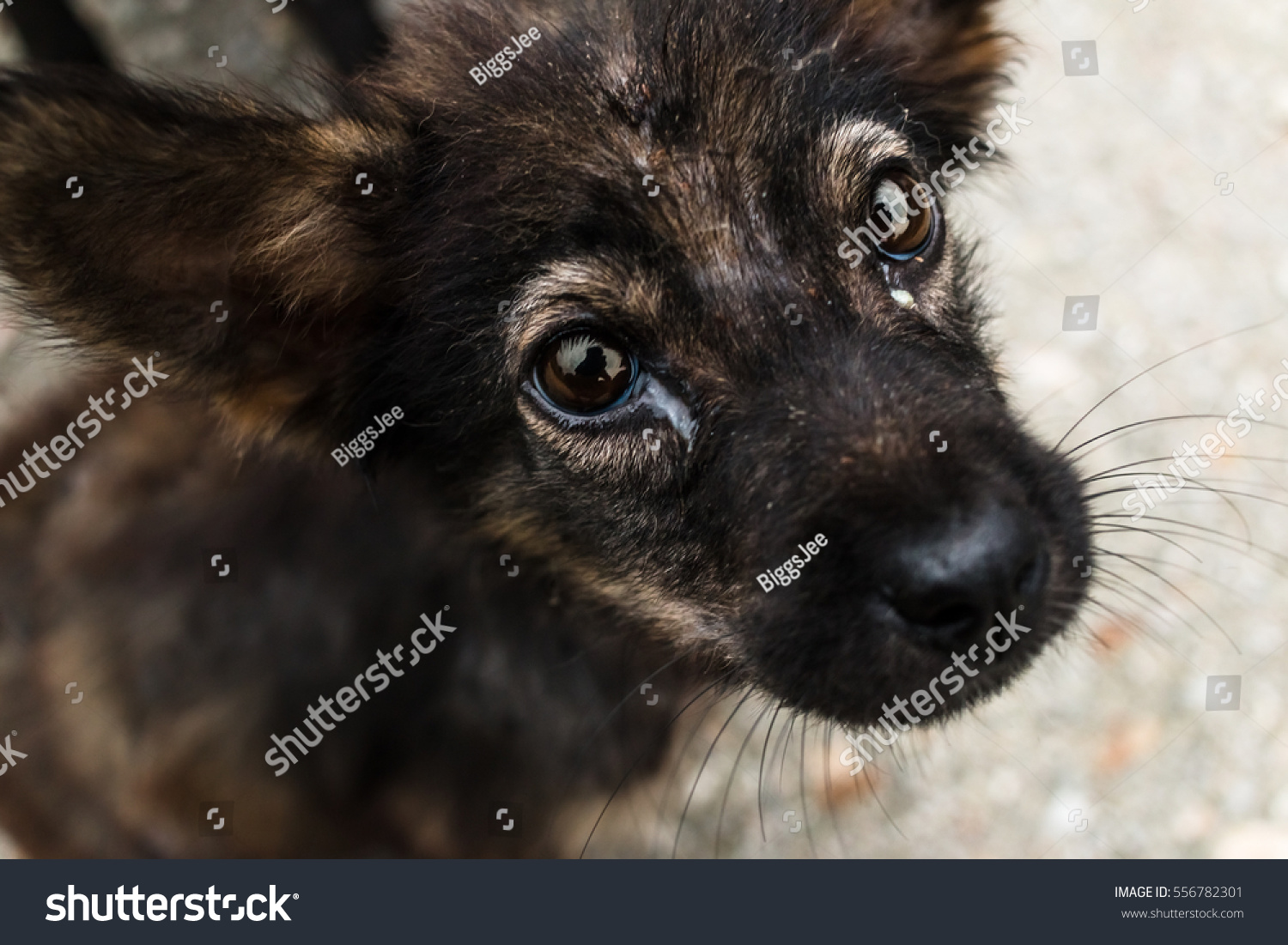 Cute Puppy Dog Eyes Looking You Stock Shutterstock
