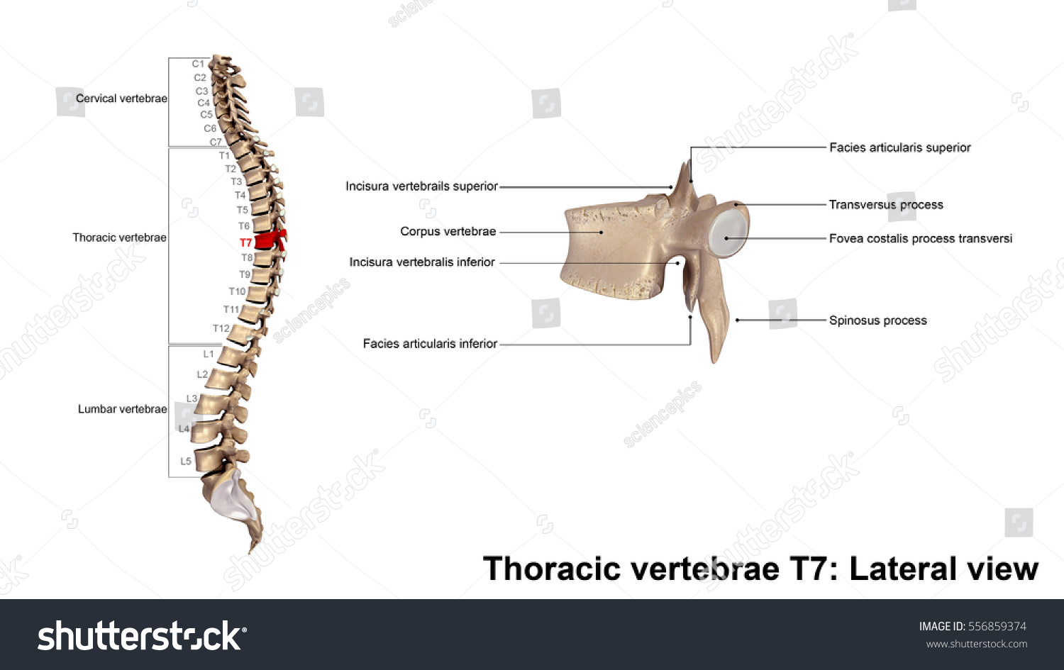 Thoracic Vertebrae T 7 Lateral View 3 D Stock Illustration 556859374
