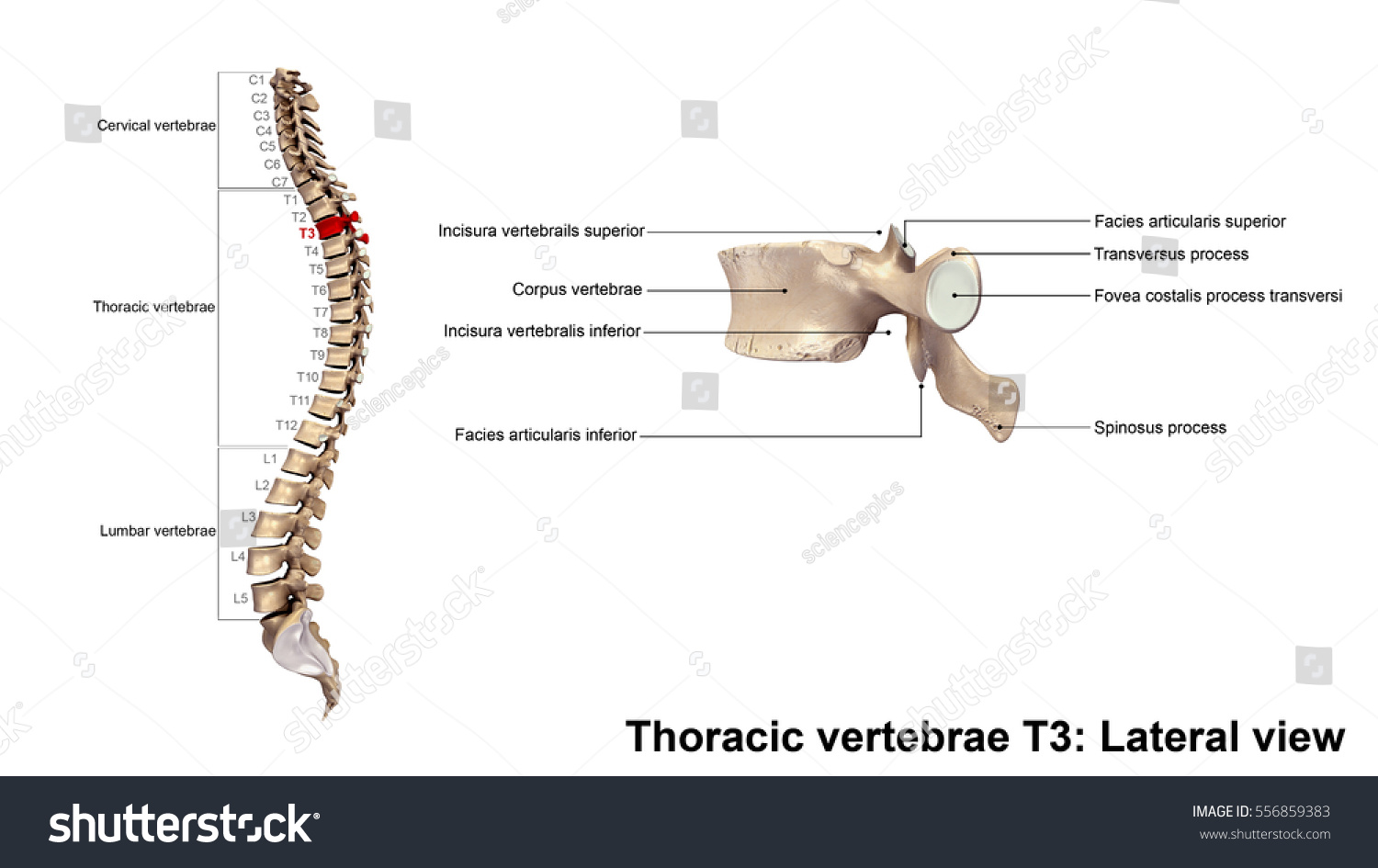 Royalty Free Stock Illustration Of Thoracic Vertebrae T 3 Lateral