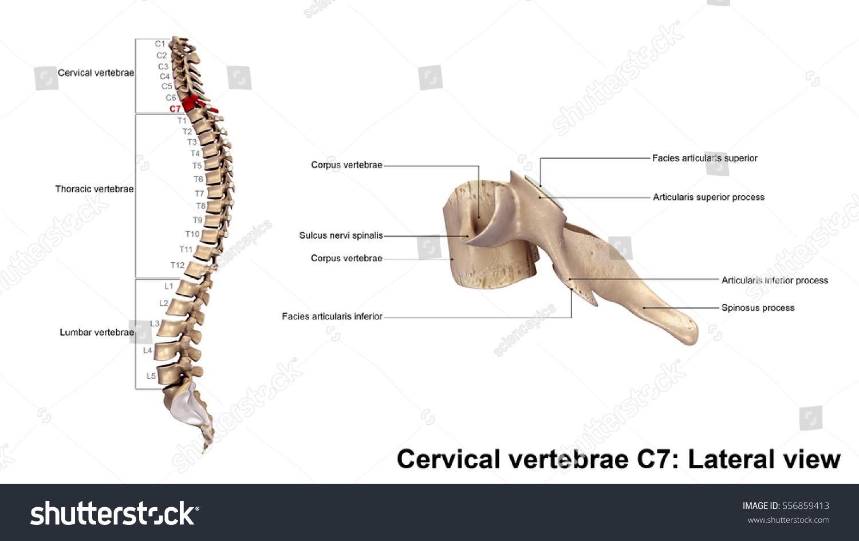 Cervical Vertebrae C 7 Lateral View 3 D Stockillustration 556859413 ...