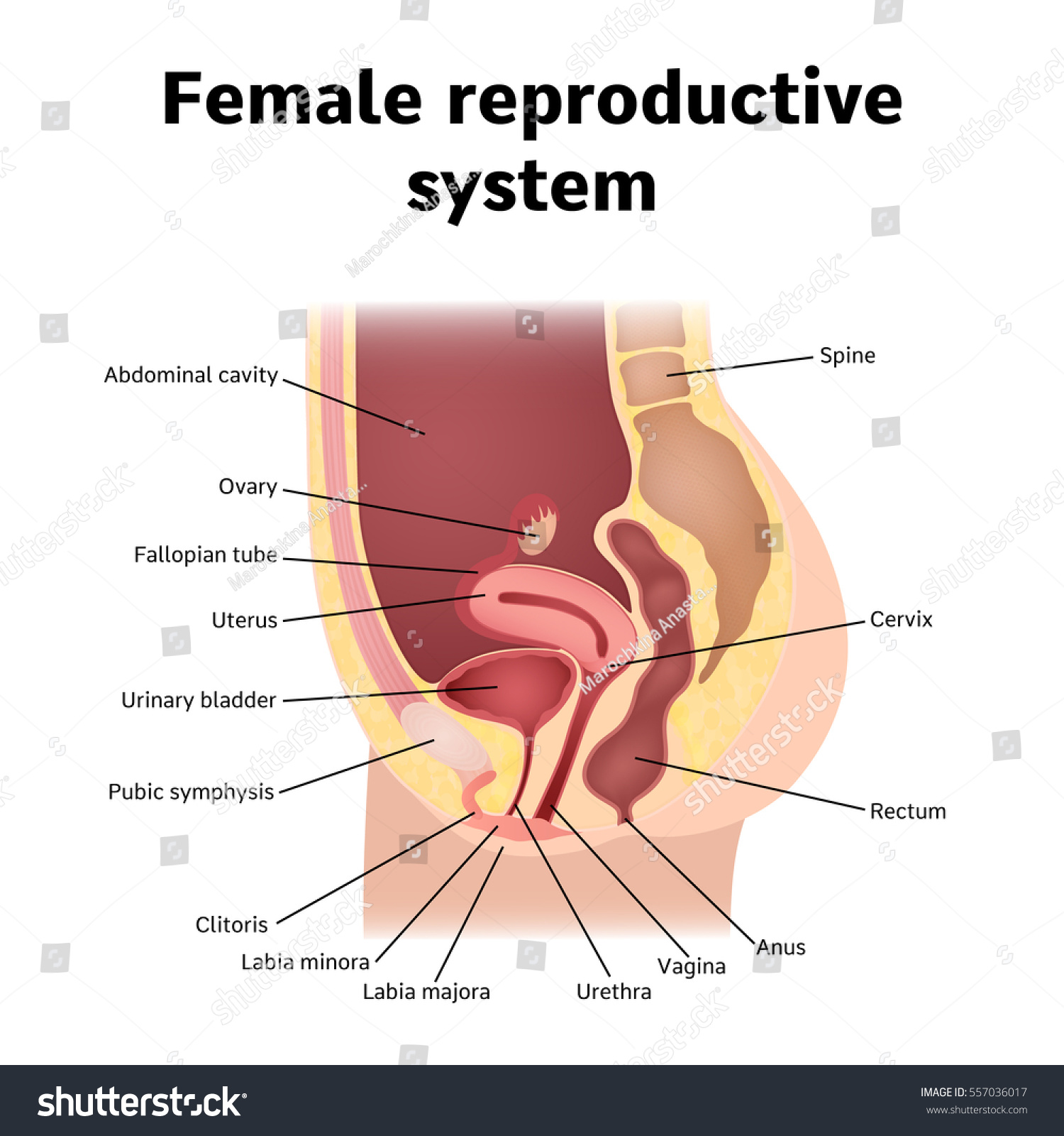Female internal genital organs sectional structure stock vector female internal genital organs sectional structure of the female reproductive system pooptronica Choice Image