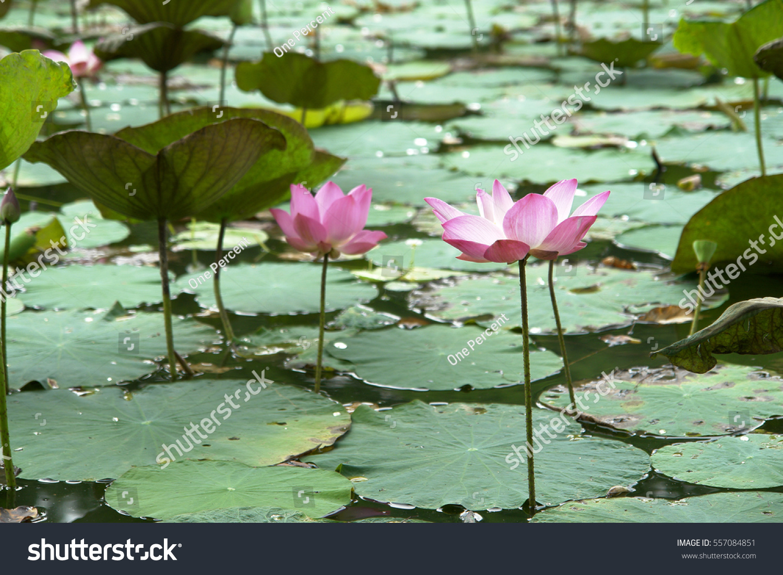 Lotus flowers leaves petals on still stock photo edit now lotus flowers leaves petals on still tranquil pond lake murky muddy waters water droplets dew mightylinksfo
