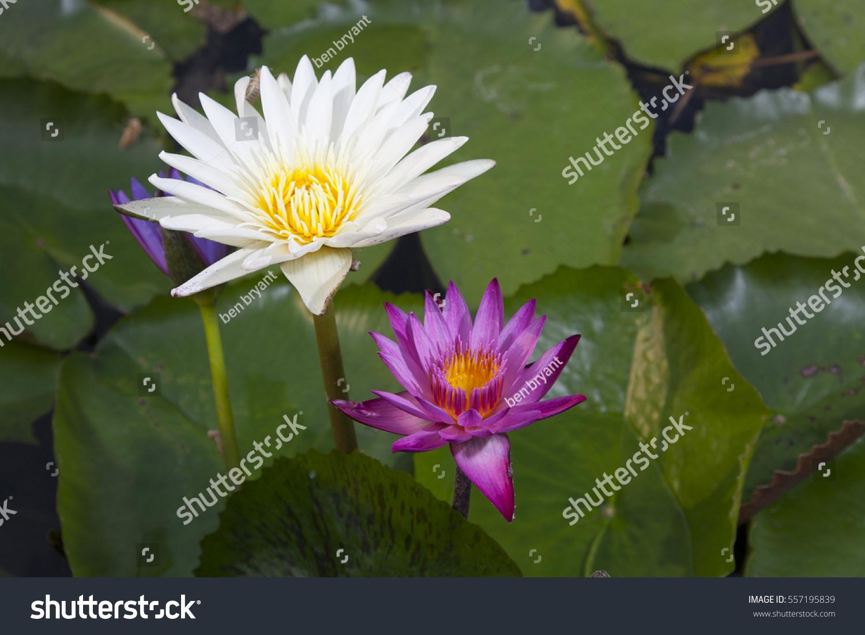 Pink white lotus flower pond stock photo royalty free 557195839 pink white lotus flower pond stock photo royalty free 557195839 shutterstock izmirmasajfo