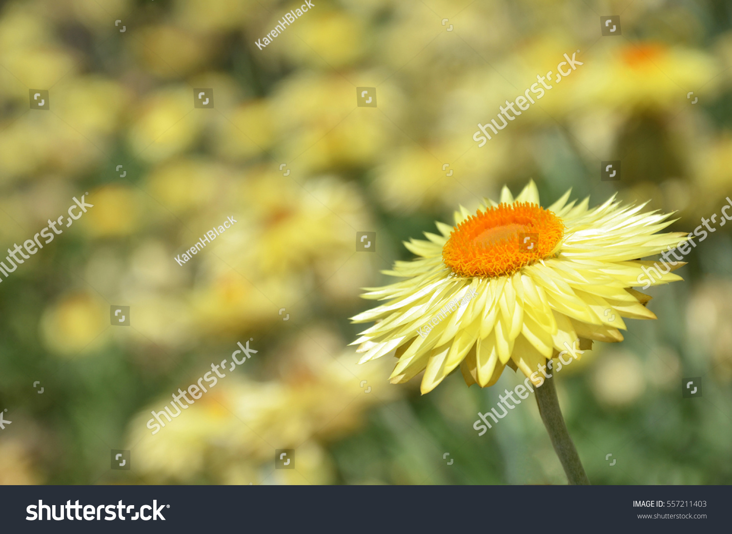 Australian Native Yellow Paper Daisy Flower Stock Photo Edit Now