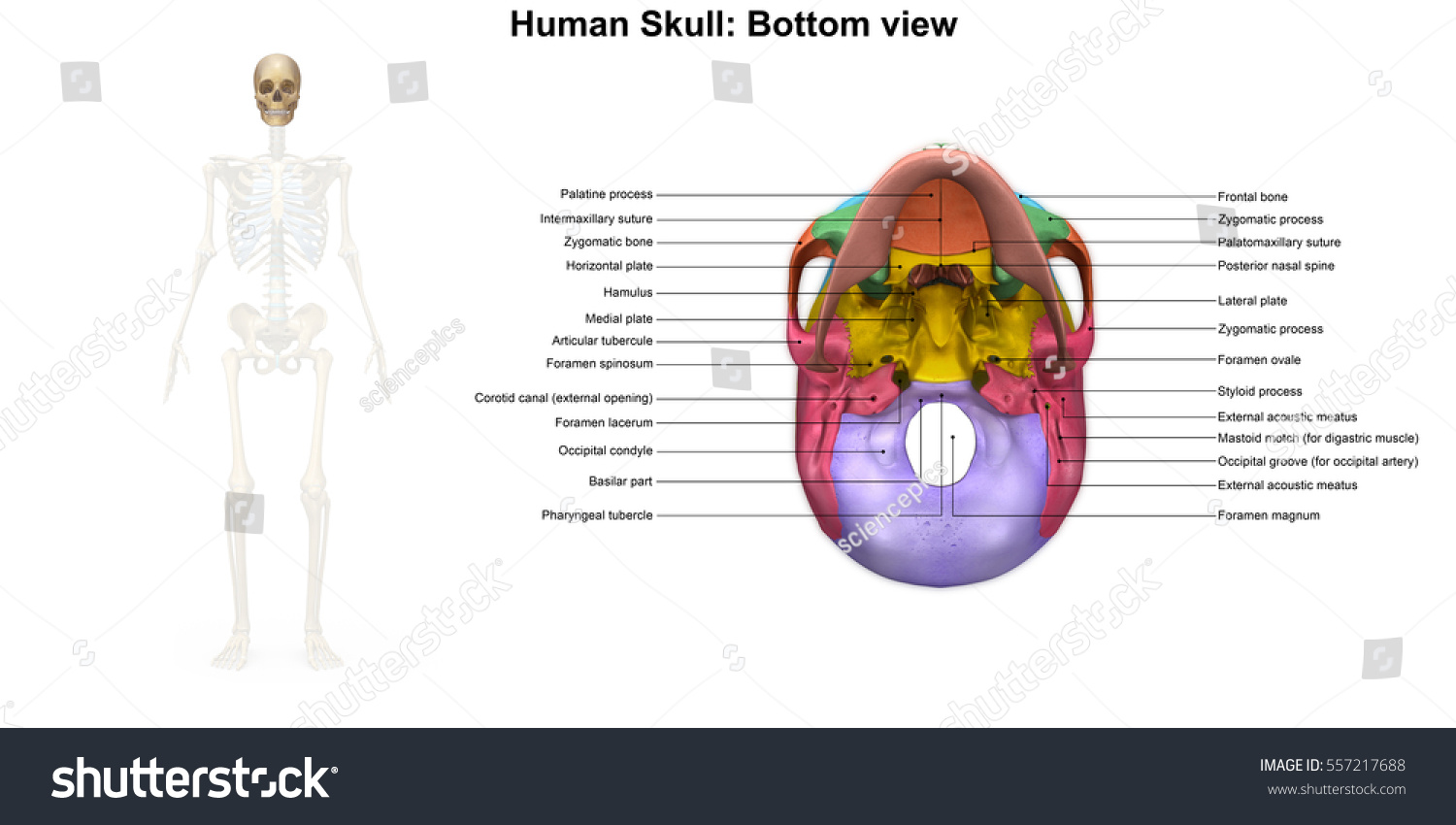 Human Skull Inferior View 3 D Illustration Stock Illustration ...