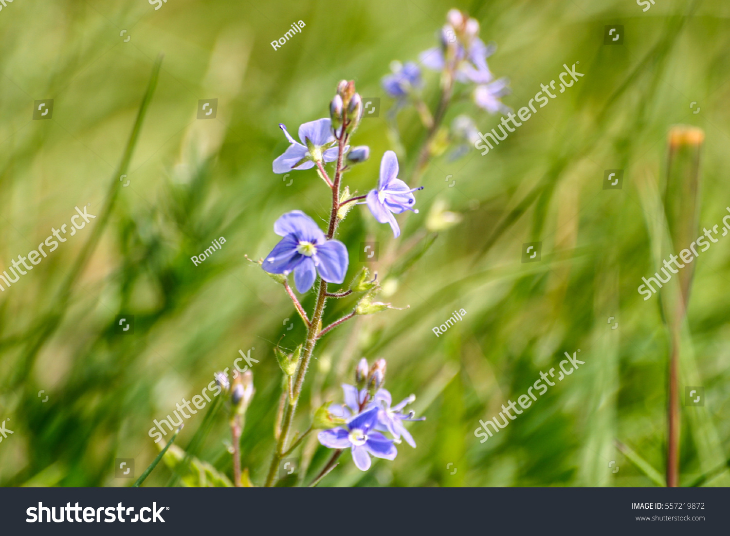 Beautiful Small Blue Flowers In The Grass In Spring Ez Canvas