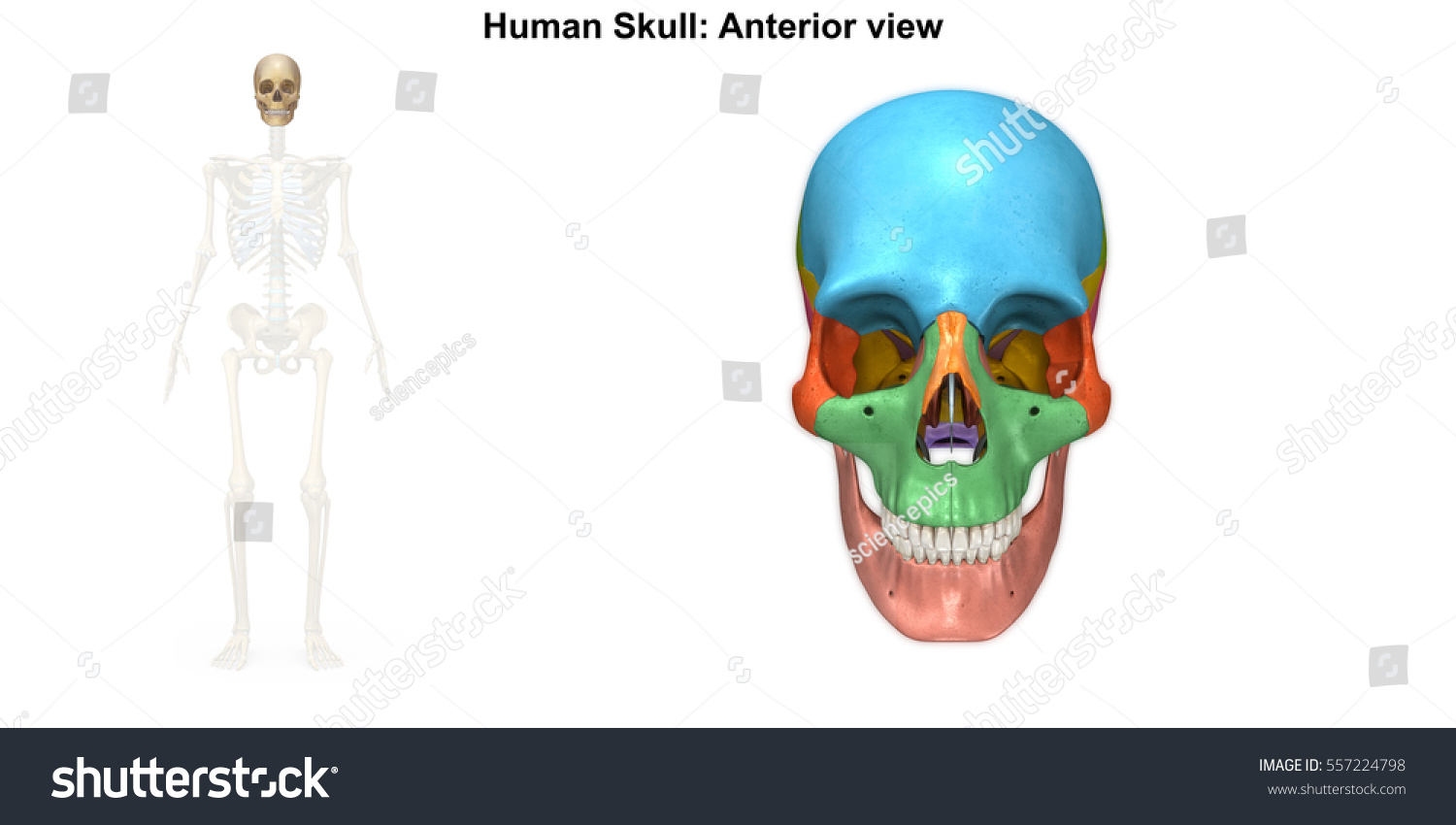 Human Skull Anterior View 3 D Illustration Stock Illustration ...