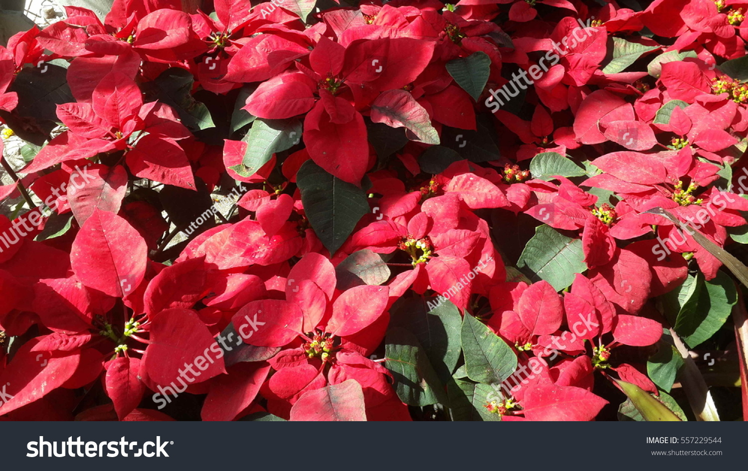 Beautiful Red Christmas Flower Poinsettia Stock Photo