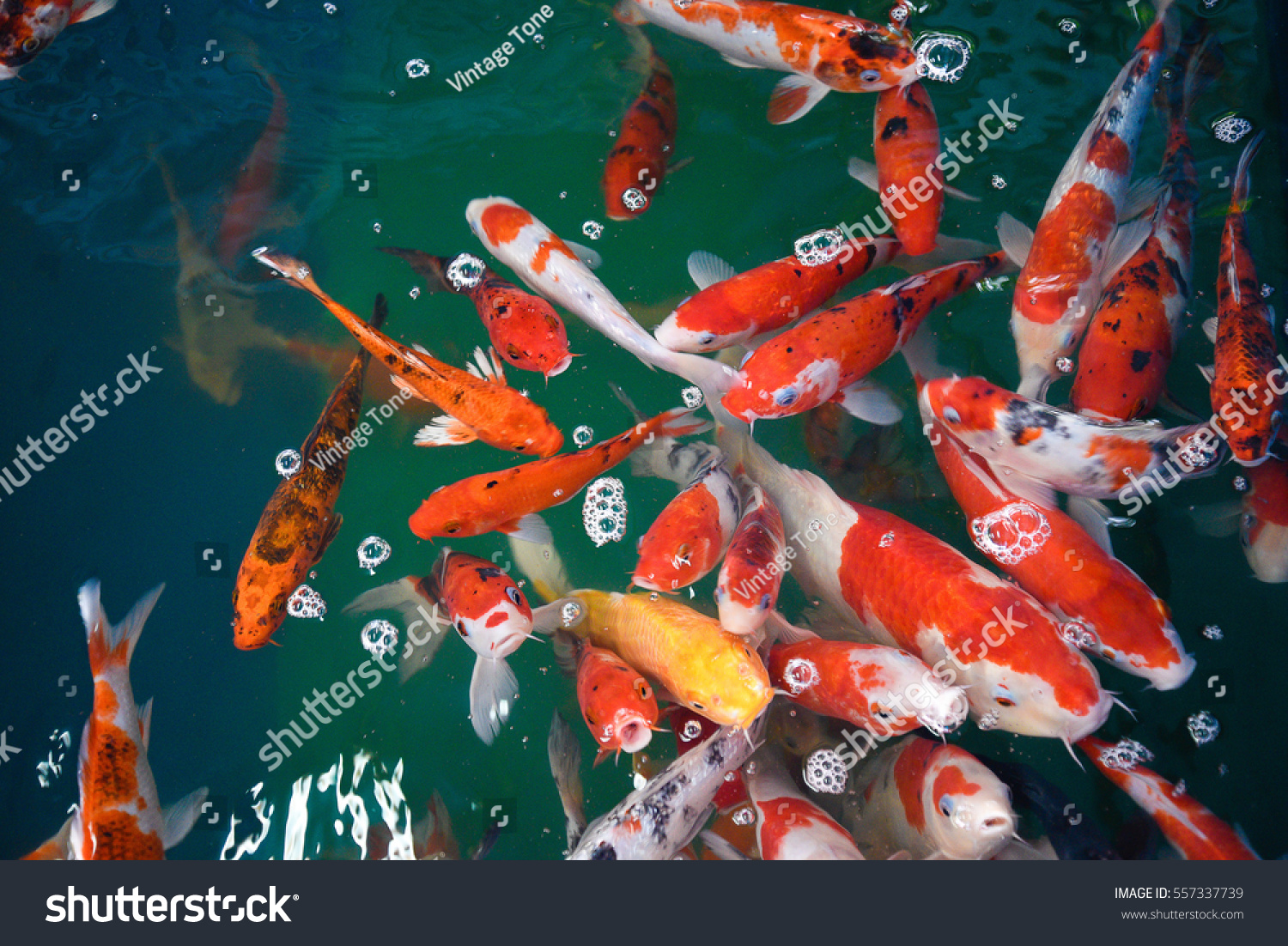 Colorful Fancy Carp Fish Koi Fish Stock Photo 557337739 - Shutterstock