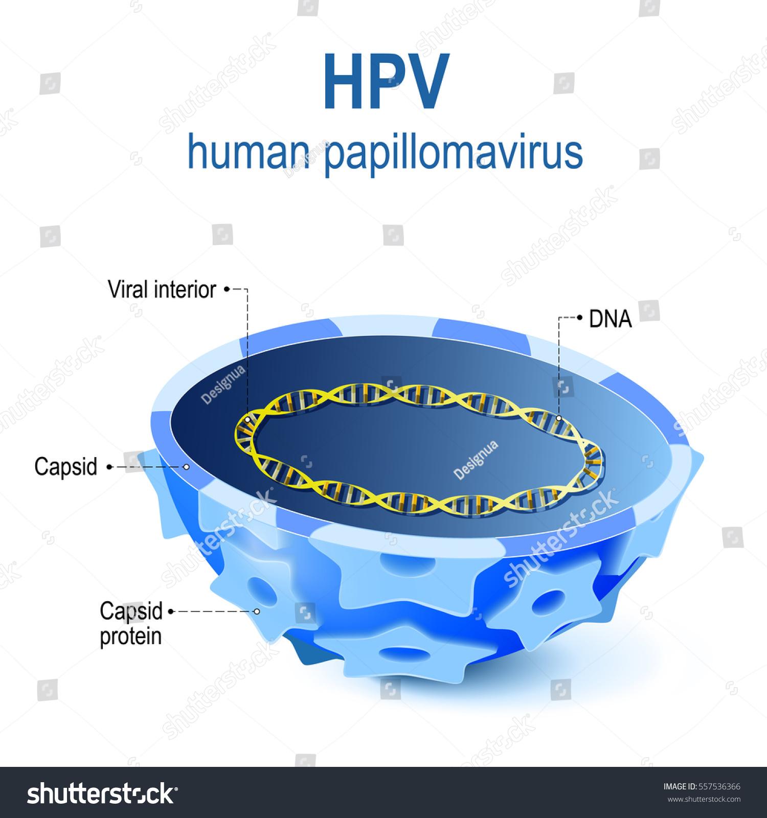 Hpv Human Papillomavirus Vector Illustration Viral Stock