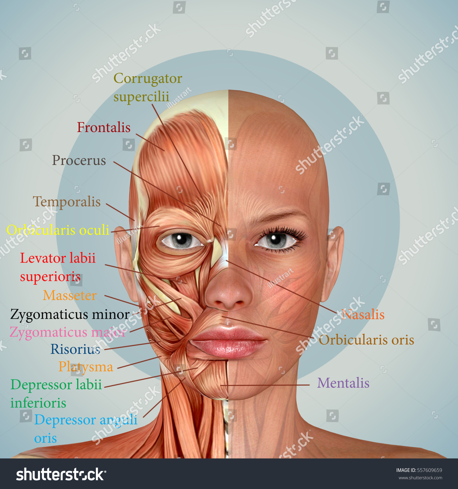 3 D Female Face Muscles Anatomy Stock Illustration 557609659