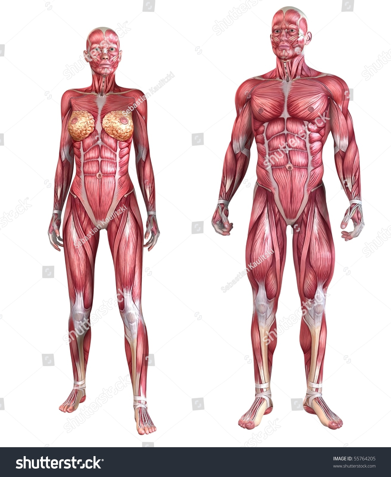 human muscle system stock illustration 55764205 - shutterstock, Muscles