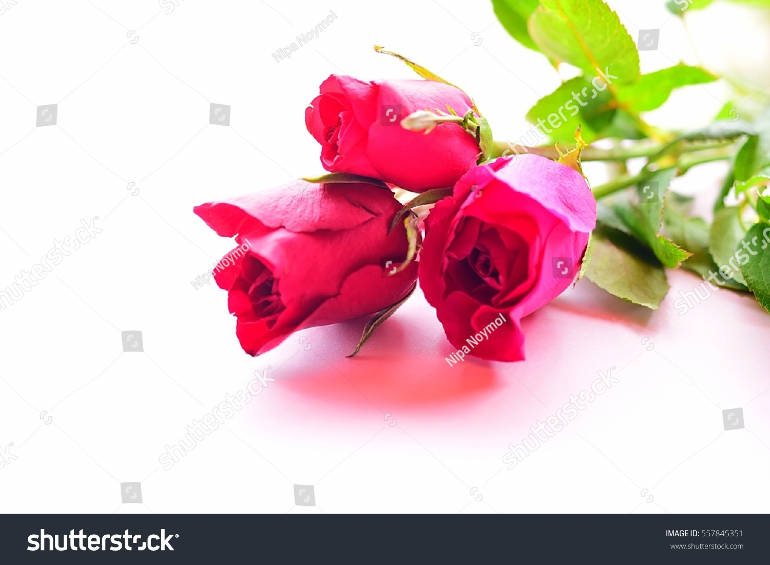 lovely roses flowers on pink background stock photo (royalty free