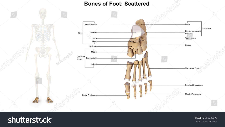 Bones Foot Dorsal View 3 D Illustration Stock Illustration 558085078 ...