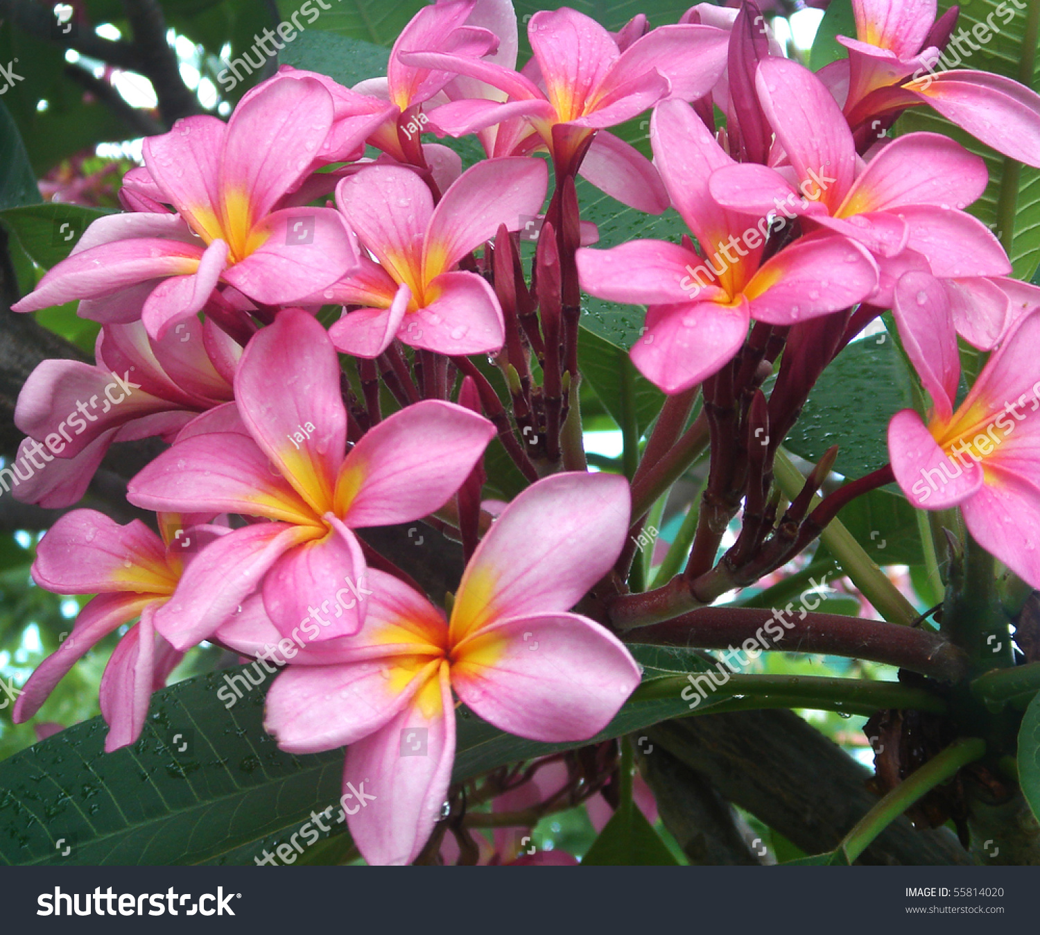 Bunch pink frangipani plumeria flowers on stock photo 55814020 bunch of pink frangipani plumeria flowers on tree dhlflorist Gallery