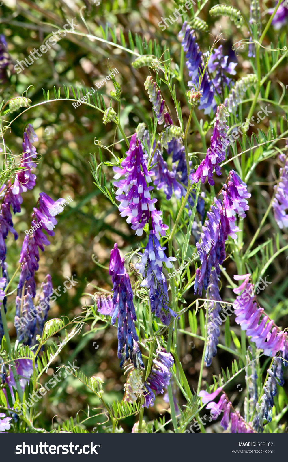 Purple Wild Vine Flowers Stock Photo 558182 Shutterstock