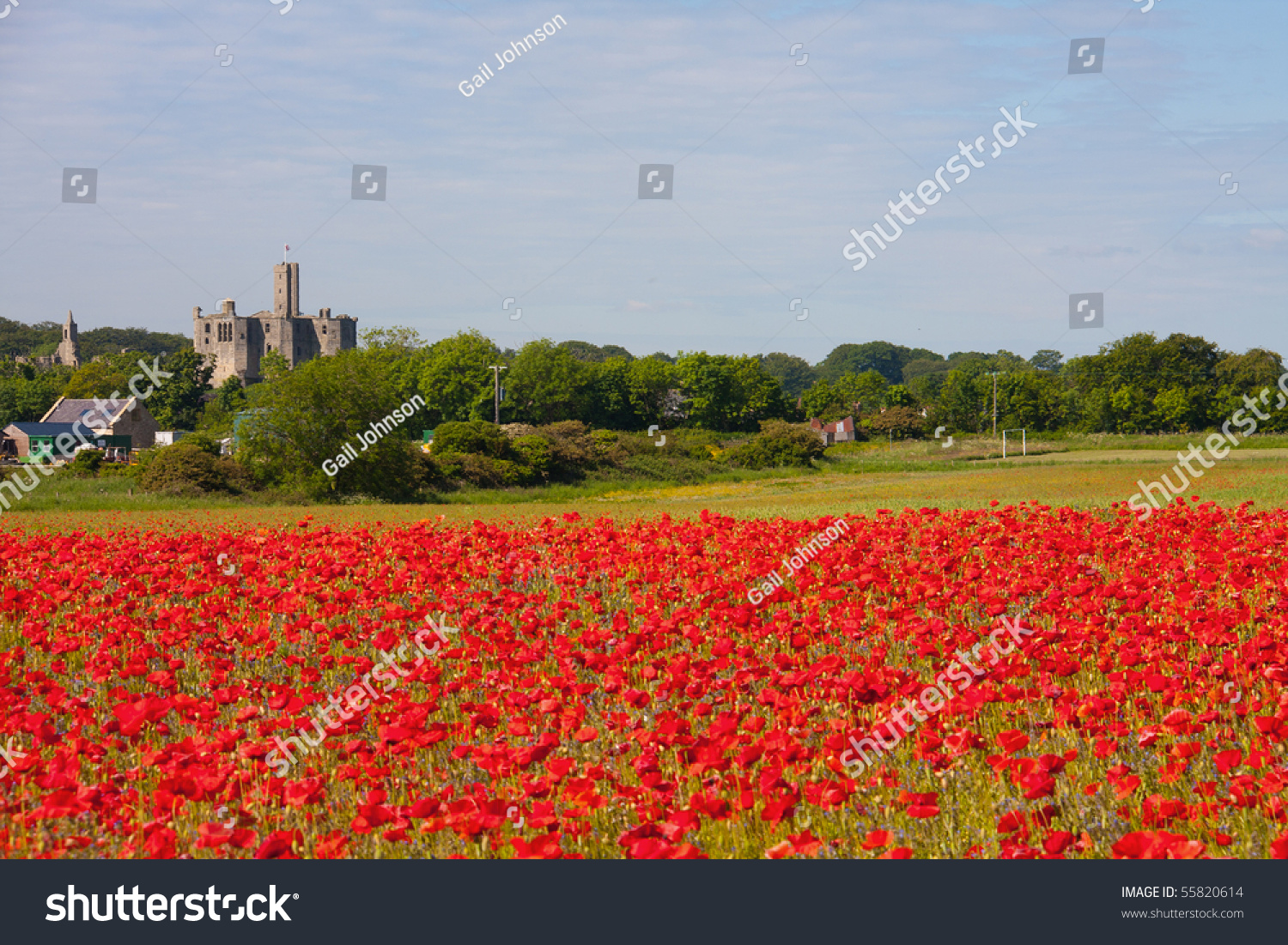 Bright Red Poppy Field Overlooking Warkworth Stock Photo Edit Now