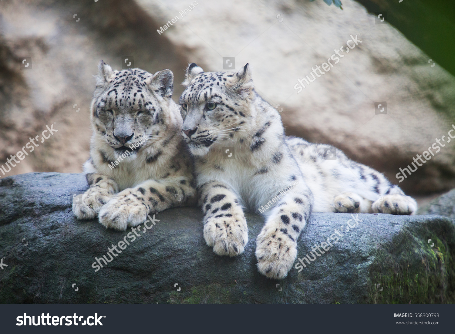 pair snow leopard clear rock background stock photo (download now