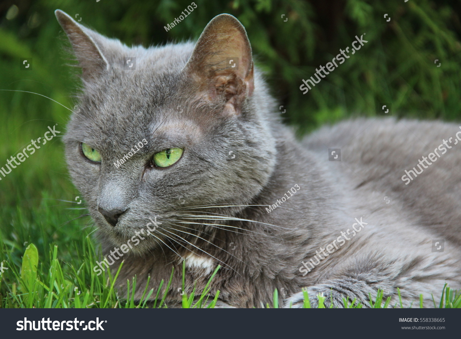 Grey Cat Green Eyes Hunting Birds Stock Shutterstock