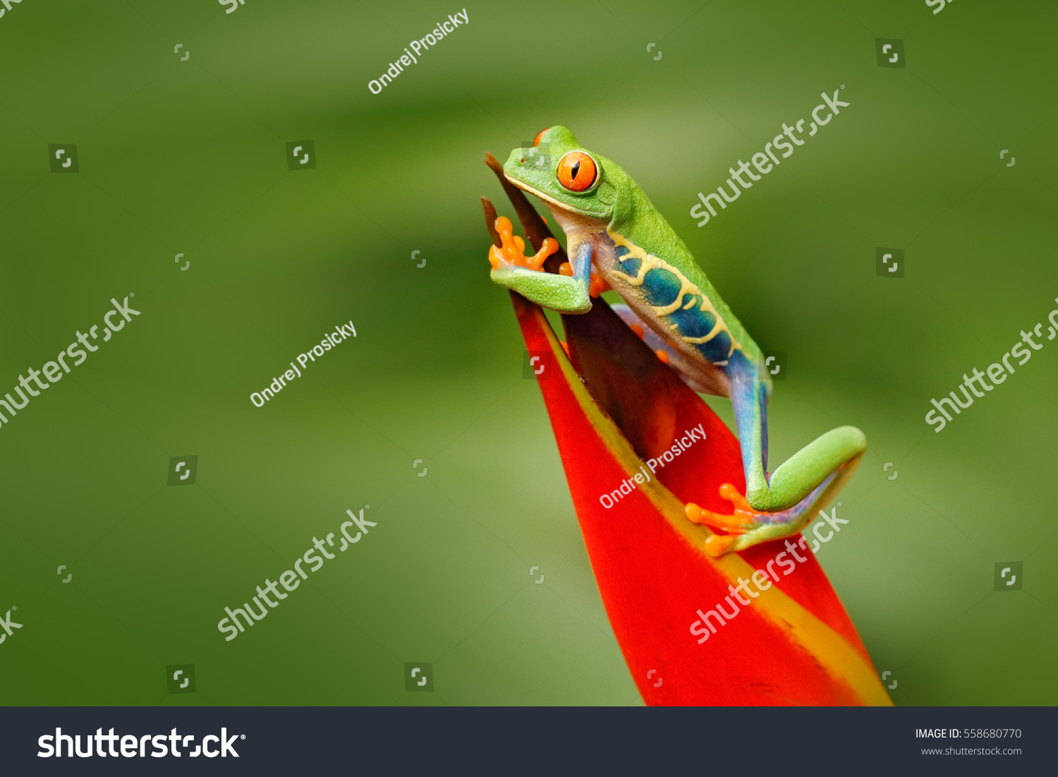 Red-eyed Tree Frog, Agalychnis callidryas, animal with big red eyes, in the nature habitat, Costa Rica. Beautiful frog in forest, exotic animal from central America. #558680770