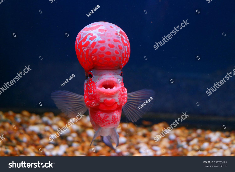 Royalty-free Flowerhorn Cichlid Crossbreed Fish Good… #558705199 ...