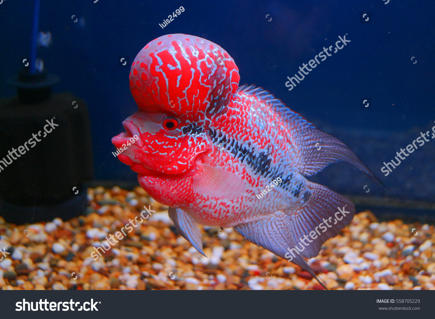 Flowerhorn Cichlid Crossbreed Fish Good Color Stock Photo (Royalty ...